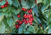 چگونه یک محصول کشاورزی اشنویه را پایتخت گیلاس ایران کرد؟+فیلم