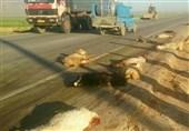 آذربایجان غربی| میزان خسارات سیل به احشام در دست بررسی است