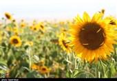 مزارع زیبای آفتابگردان خراسان شمالی به روایت تصاویر