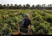 معاون وزیرجهاد کشاورزی: 300 هزار هکتار از باغهای کشور انگور است