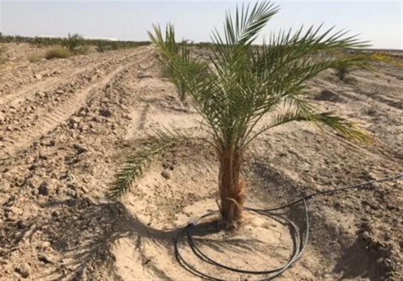 طرح نخلستان در 34 هزار هکتار اراضی کشاورزی استان بوشهر اجرا میشود