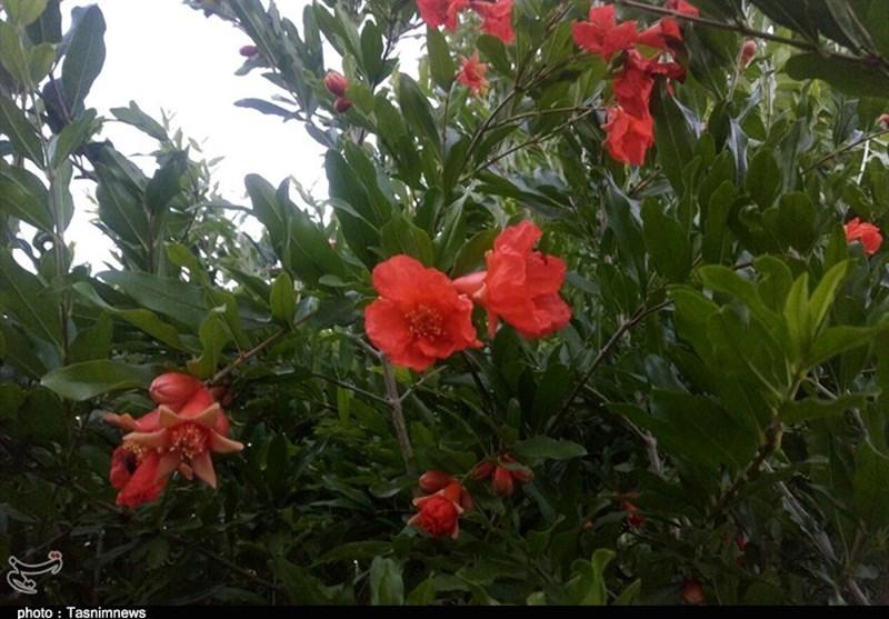 شکوفههای زیبای نارنجی درختان انار در زنجان +تصاویر