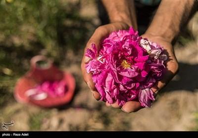 مهرجان الورد الجوري في تبريز