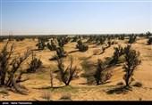 جنگلهای دستکاشت میهمان بیابانهای اصفهان؛ درختان بادام مرحم کویر تشنه میشوند