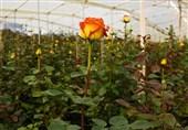 13 میلیون گل شاخ بریده در استان کرمان تولید میشود