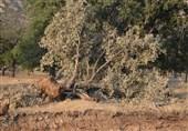 واکنش فعال محیط زیست به قطع درختان 500 ساله بلوط دنا؛ واقعا شرمساریم