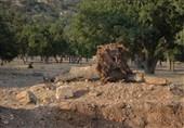 واکنش منابع طبیعی کهگیلویه و بویراحمد به قلع و قمع صدها درخت بلوط 500 ساله؛ قانون دستمان را بسته است