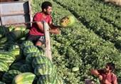 قیمت 7 برابری هندوانه از زمین تا بازار؛ سودی که به جیب دلالان میرود