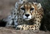 2 یوزپلنگ آسیایی در نایبندان طبس شناسایی شد