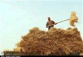 خراسان رضوی| کارخانههای خوراک دام مانع ورود گندم به سیلوها میشوند