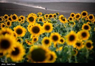 برداشت آفتابگردان از مزارع خراسان شمالی با فرا رسیدن آخرین ماه از فصل تابستان و اوایل پاییز ، آغاز میشود. برداشت آفتابگردان از مزارع خراسان شمالی با فرا رسیدن آخرین ماه از فصل تابستان و اوایل پاییز ، آغاز میشود.