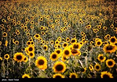 برداشت آفتابگردان از مزارع خراسان شمالی با فرا رسیدن آخرین ماه از فصل تابستان و اوایل پاییز ، آغاز میشود.