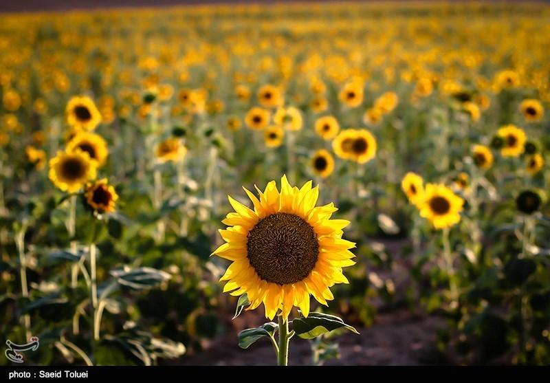 استان خراسان شمالی، تقریبا ۱۵ هزار هکتار از اراضی کشاورزی خود را که به کاشت گیاهان دارای دانه های روغنی از جمله تخمه آفتابگردان اختصاص می دهد، که بیش از ۷۰ هزار تن، انواع دانه های روغنی در این استان برداشت می شود