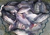 """تهدید """"ماهی تیلاپیا"""" برای زنجیره غذایی و محیط زیست / پرورش تیلاپیا در زنجان ممنوع شد"""