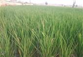 خودکفایی تولید برنج به 83 درصد رسید