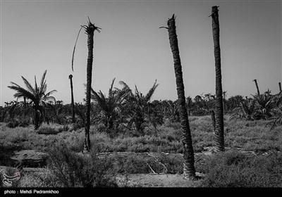 تغییر اقلیم و بحران مدیریت آب در شادگان سبب شده که بیش از چندین هزار درخت نخل در این شهرستان از بین برود
