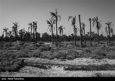 خوزستان قطب تولید خرما و رتبه نخست صادرات آن را در کشور دارد سهم این استان تولید حدود 200 هزار تن خرما است.اما در سال های اخیر میلیون ها اصله نخل در جنوب خوزستان قربانی کمبود و شوری آب شده اند
