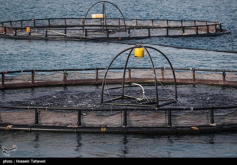 بوشهر| تولید محصولات آبزیپروری به 800 هزار تن در سال افزایش مییابد
