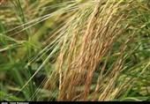 """معرفی ارقام جدید """"برنج"""" در گیلان؛ «تیسا»، «رش» و «آنام» برنج بیشتری در اختیار کشاورزان قرار میدهد"""