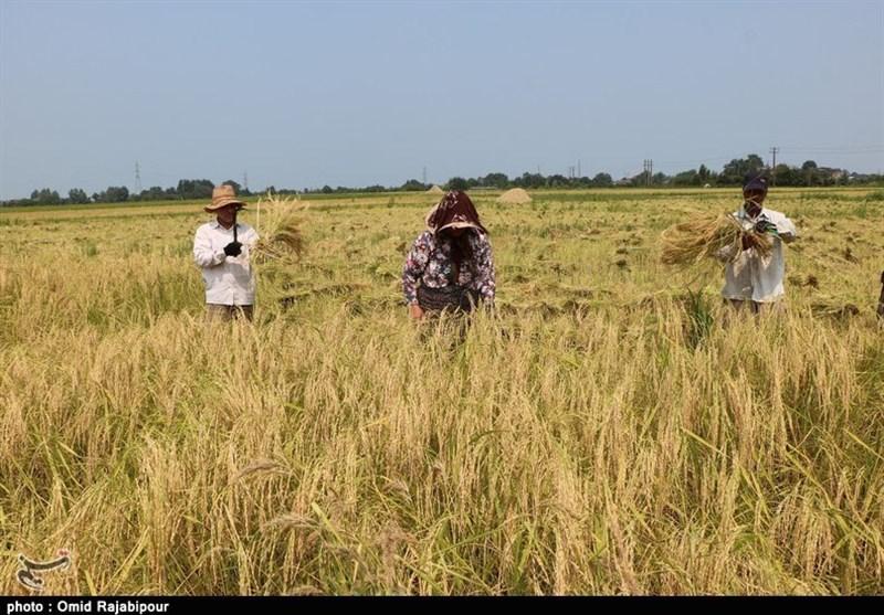 برداشت برنج در اراضی شالیزاری مازندران؛ سالی پرمحصول برای کشاورزان