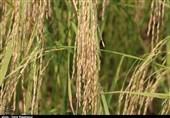 فاز نخست مرکز بینالمللی تجارت برنج ایران با حضور جهانگیری راهاندازی شد