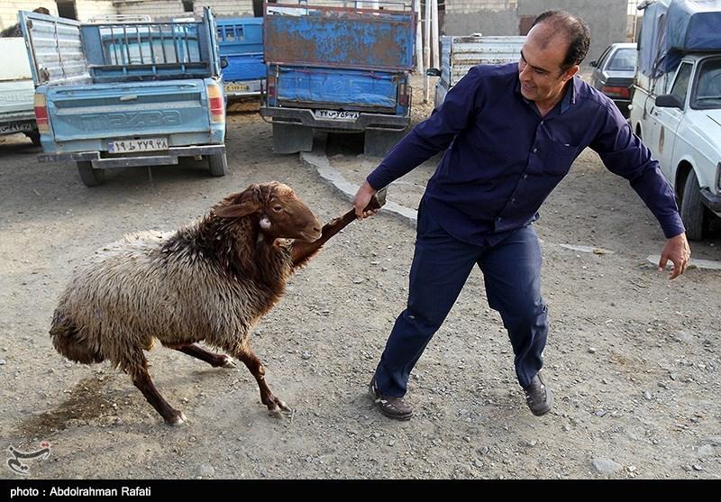 قیمت 47 هزار تومانی گوسفند زنده یک روز قبل عید قربان