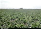 دستان توانمند کشاورز لرستانی در تولید چغندرقند؛ خاکی که زر میدهد