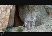 کهگیلویه و بویراحمد| ثبت تصاویری زیبا از پلنگ ایرانی در پارک ملی دنا