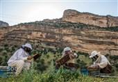 خراسان رضوی| «شیرینتر از عسل»؛ درآمد 100 میلیونی از محل زنبورداری در کاخک گناباد