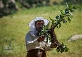 صنعت بیمار زنبورداری مازندران؛ وقتی تولید عسل زیرمجموعه پرورش دام میشود