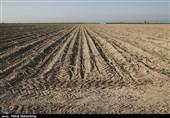 کشت گندم در 108هزارهکتار اراضی استان بوشهر آغاز شد