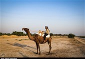 نخستین مسابقات شتر سواری در حمیدیه به روایت تصویر