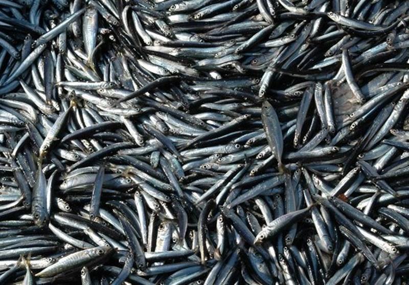 تشدید ماهیگیری صنعتی کیلکای خزر توسط داغستان