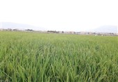 7000 هکتار از اراضی دزفول به شالی کاری اختصاص یافت