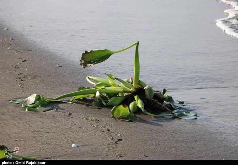 سواحل گیلان در محاصره خطرناکترین گونه گیاهان مهاجم آبزی+ تصاویر