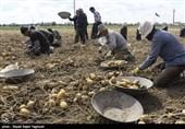پیشگامی کشاورزان سیب زمینیکار اردبیلی در تحقق رونق تولید + فیلم