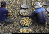 کشت 550 هکتار سیبزمینی در چهارمحال و بختیاری