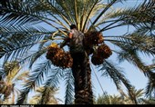 مکانیزاسیون، آبیاری نوین و میانهکاری بهرهوری خرمای استان کرمان را افزایش میدهد