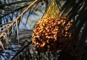 تکاپوی نخلداران برای برداشت محصول؛ خارک خوزستان کام مردم ایران را شیرین میکند + تصاویر