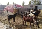 رونق تولید با دستان کارآفرین سیستانی