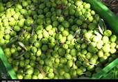 """واردات """"روغن زیتون تقلبی"""" تیشه به ریشه تولیدکنندگان طارمی میزند"""