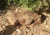 دستور استاندار آذربایجانغربی برای برخورد قاطعانه با عاملان کشتار یک قلاده خرس در ارومیه