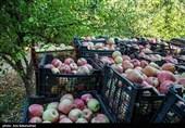 میوه بهشتی در بازار «برزخی»؛ قصه درختان پربار سیب و دستان خالی باغداران مشکینشهر + فیلم