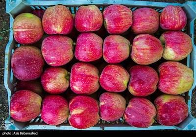 قطاف التفاح في لرستان غرب ايران