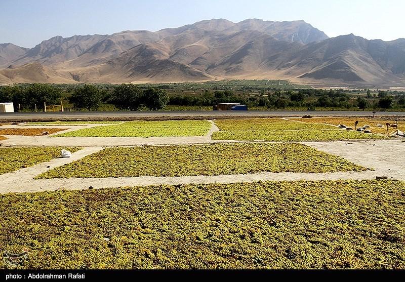 """قطاف العنب في """"ملاير"""" غرب طهران"""