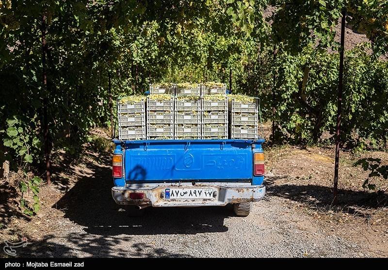 بیش از 30 هزار نفر به طور مستقیم و 30 هزار نفر غیر مستقیم در امر داشت ، برداشت ، بسته بندی و حمل و نقل انگور فعالیت کرده و از این راه امرار معاش می کنند .