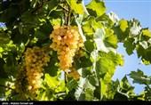 اقتصاد بدون نفت  تولید 40 هزار تن انگور در کهگیلویه و بویراحمد+تصاویر