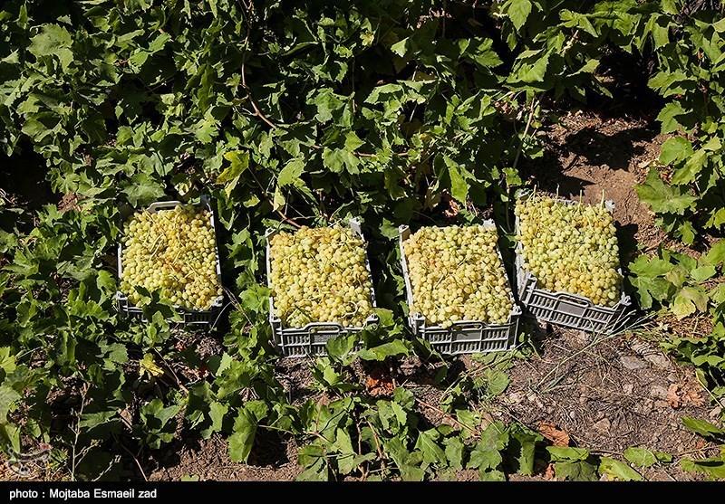 30 نوع انگور در استان تولید می شود که سفید کشمشی، قرمز کشمشی، رشه ، تبرزه سفید و قرمز، ریش بابا، حسینی، خلیلی،عسگری،لعل بیدانه از جمله آنهاست