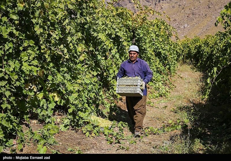 برداشت انگور در ارومیه