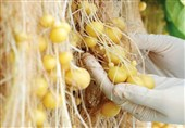 حمایت وزارت جهاد کشاورزی از تولید بذر هیبرید داخلی با کمک چین